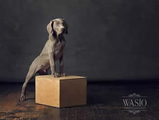 Weimaraner and Vizsla Dog Breeders - Puppies For Sale